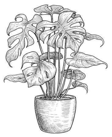 Monstera Illustration Zeichnung Gravur Tinte Strichzeichnung Vektor Vektorgrafik