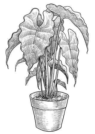 Alocasia in pot illustration, engraving, ink, line art, vector