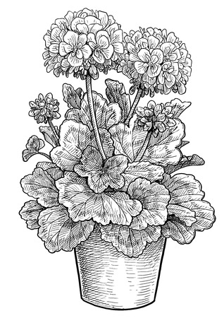Geranium in pot illustration, engraving, ink, line art, vector