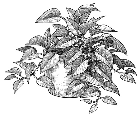 Goldene Pothos-Illustration, Gravur, Tinte, Strichzeichnungen, Vektor Vektorgrafik
