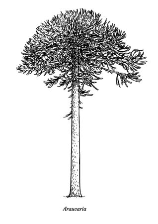 Araucaria tree illustration, drawing, engraving, ink, line art, vector Ilustracja