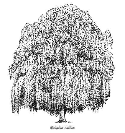 Illustration de saule de Babylone, dessin, gravure, encre, dessin au trait, vecteur Vecteurs