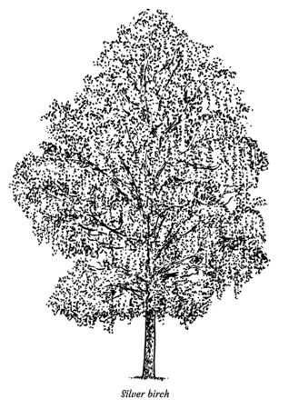 Silver birch tree illustration, drawing, engraving, ink, line art, vector