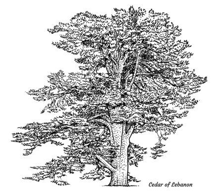Cedar of Lebanon tree illustration, drawing, engraving, ink, line art, vector Иллюстрация