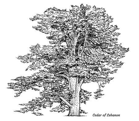 Zeder des Libanonbaums Illustration, Zeichnung, Gravur, Tinte, Strichzeichnungen, Vektor