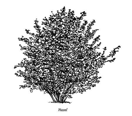 Illustration de noisetier, dessin, gravure, encre, dessin au trait, vecteur