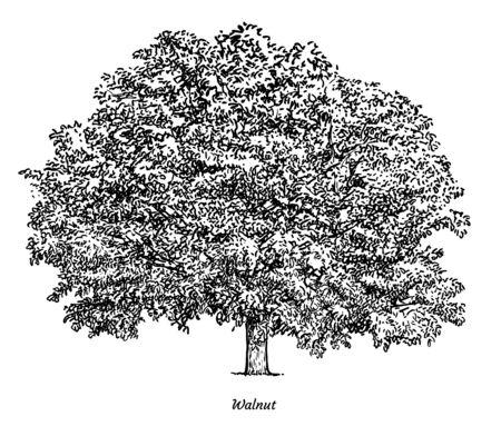 Walnut tree illustration, drawing, engraving, ink, line art, vector