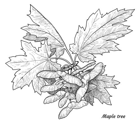 Maple, acer tree branch, leaf, seed illustration, drawing, engraving, ink, line art, vector