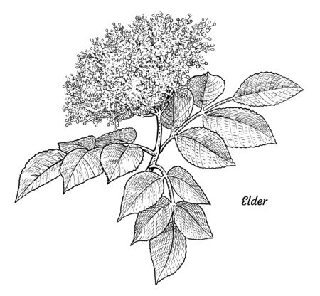 Elder flower illustration, drawing, engraving, ink, line art, vector