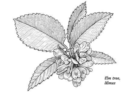 Elm tree leaf, fruits, branch illustration, drawing, engraving, ink, line art, vector