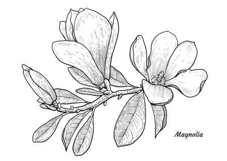 Magnolia flower illustration, drawing, engraving, ink, line art, vector Illusztráció