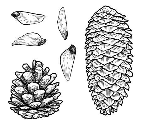 Pine cone illustration, drawing, engraving, ink, line art, vector Ilustracja