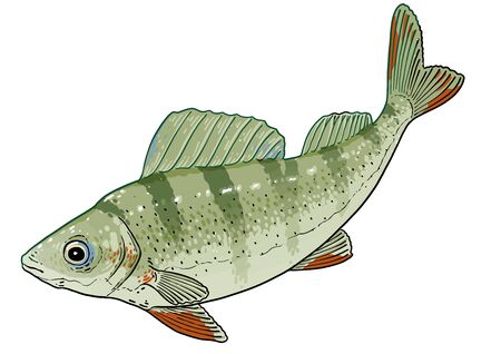 Perch fish illustration, drawing, colorful doodle vector Imagens - 144234379