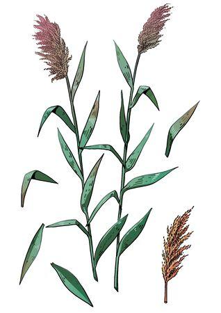 Reed illustration, drawing, colorful doodle vector Ilustração