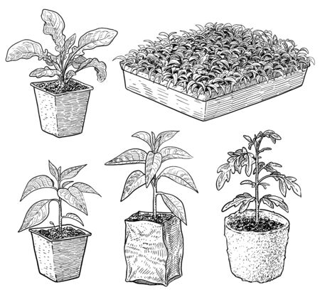 Seedlings illustration, drawing, engraving, ink, line art, vector Imagens - 147890371