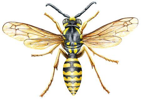 Wasp illustration, engraving, drawing, ink Imagens - 150173552