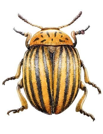 Colorado beetle illustration, engraving, drawing Imagens - 150173558