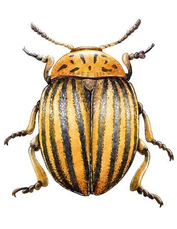 Colorado beetle illustration, engraving, drawing