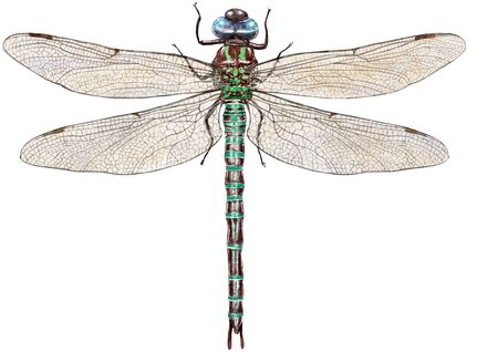Dragonfly illustration, engraving, drawing, ink, vector Imagens - 149700513