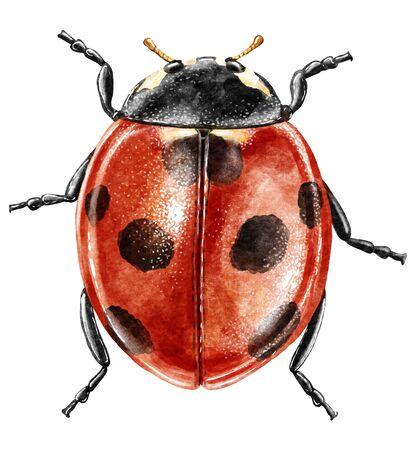 Ladybug illustration, engraving, drawing, ink Imagens - 150173564