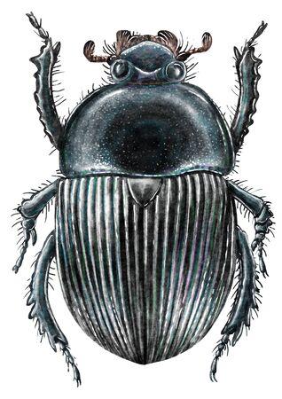 Scarab illustration, engraving, drawing, ink