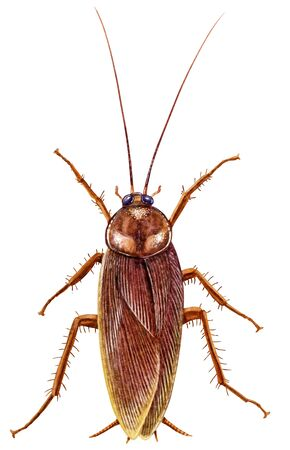Cockroach illustration, engraving, drawing, ink Imagens - 150173704