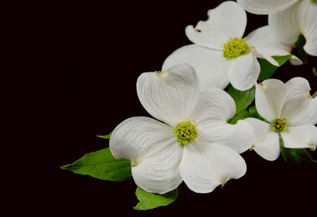Dogwood blossoms on a branch on a black studio background