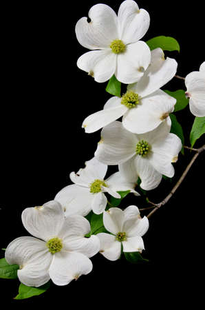 Dogwood blooms on their branch on a black studio background Stock Photo