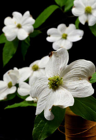 Dogwood bloom sitting in a spool of thread on black background