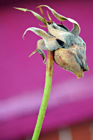 Dead Rose with Purple Background Stock Photo