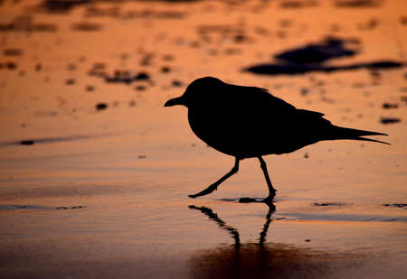 The silhouette of a seagull in the surf at sunrise
