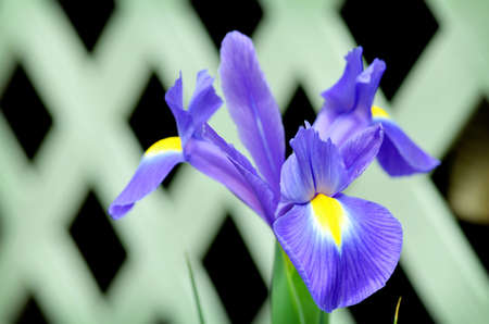 Purple Iris with lattice background Stock Photo