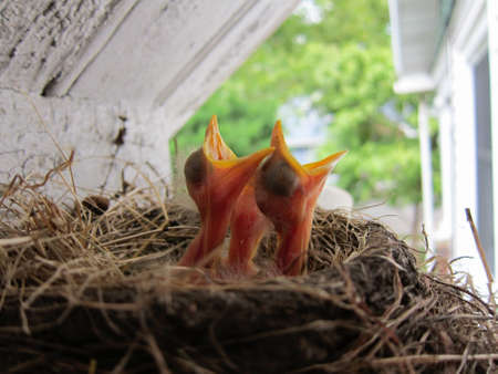 robins: Three baby robins waiting for their dinner. Stock Photo