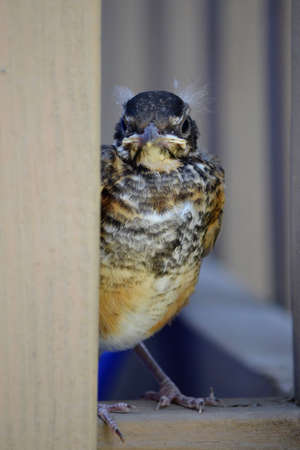 A robin hatchling fresh out of his nest for the fist time.