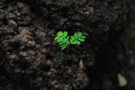 Young green sprout on black ground, focus on leaves Stock Photo - 10438401