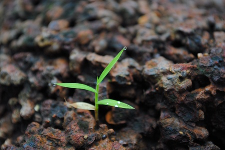 Young green sprout on black ground, focus on leaves Stock Photo - 10438380