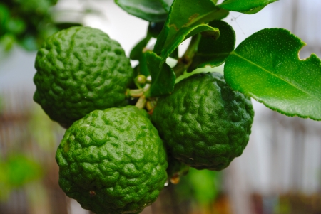 Bergamot Three leech lime fruits on its tree