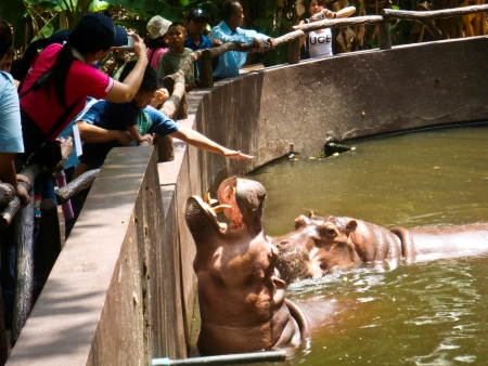 Hippo Hippopotamus open its mouth Stock Photo - 13877375