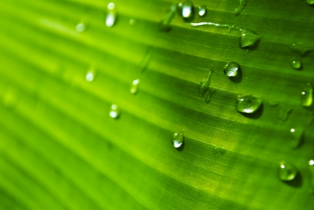 Water drop on green banana leaf texture  photo