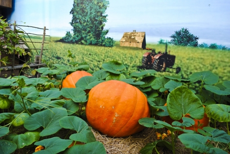 Pumpkin plants with rich harvest on a field photo