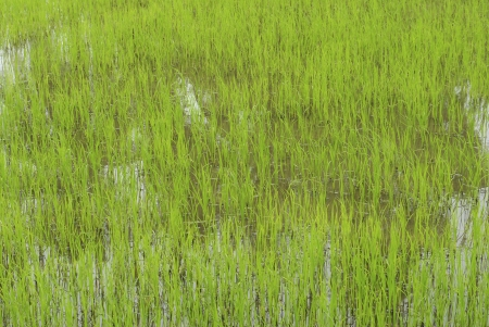Green rice fields in Northern Highlands of Thailand photo