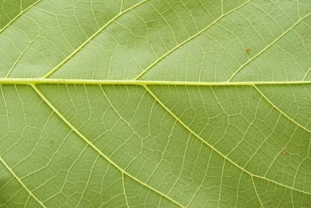 Textuur van een groen blad als achtergrond