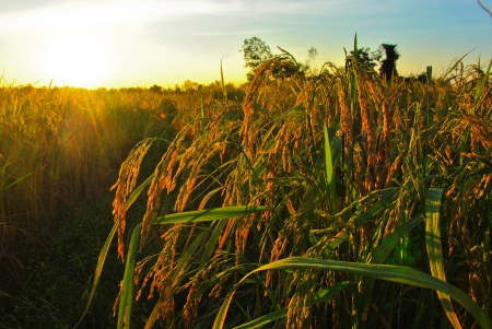 Sunset over rice field photo