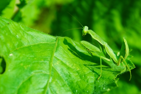 caelifera: Grasshopper perching on a leaf