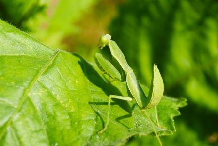 Grasshopper perching on a leaf Stock Photo - 17037124