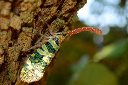 sultana: Macro shot of a Lantern fly   lantern bug, Pyrops sultana