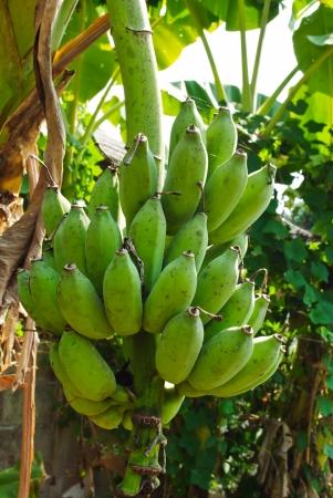 musa: Banana bunch on tree Stock Photo