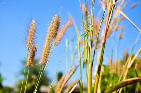 indigenous medicine: Sunset Grass Stock Photo