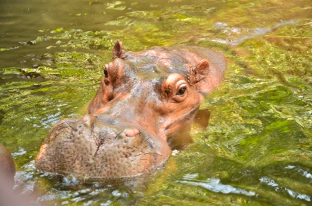 Hippopotamus Stock Photo - 18690115