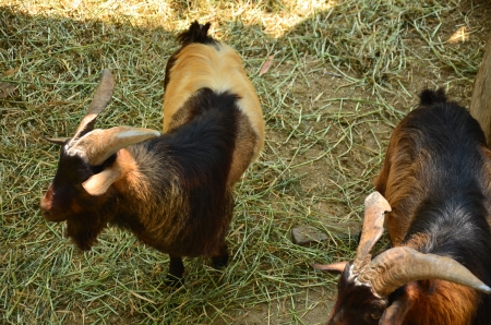 envisage: goat in farm